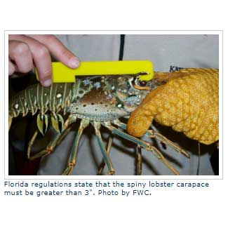 lobster being held with gloves and a measure device on the lobsters back